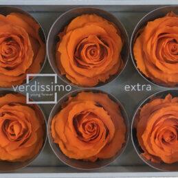 Rosa stabilizzata arancio